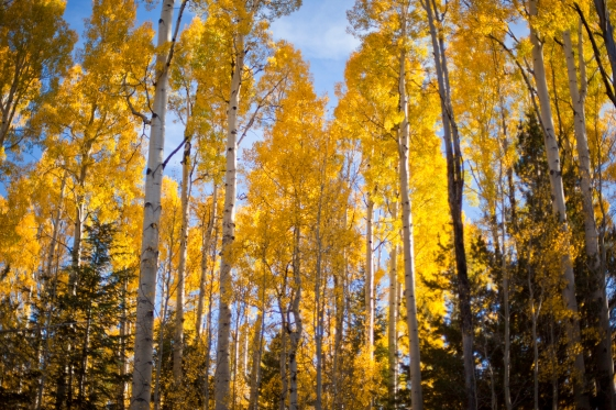 Aspens in Flagstaff Arizona