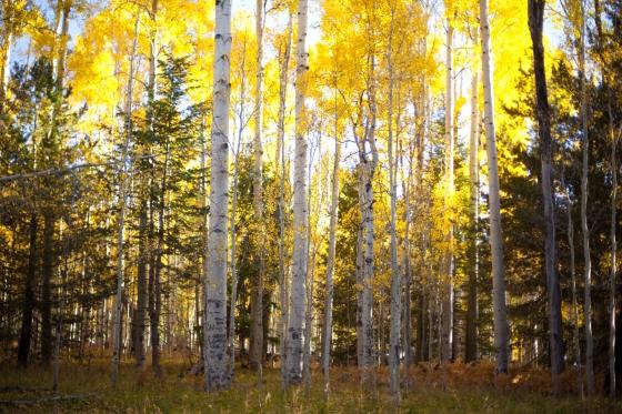 Aspens in Flagstaff Arizona